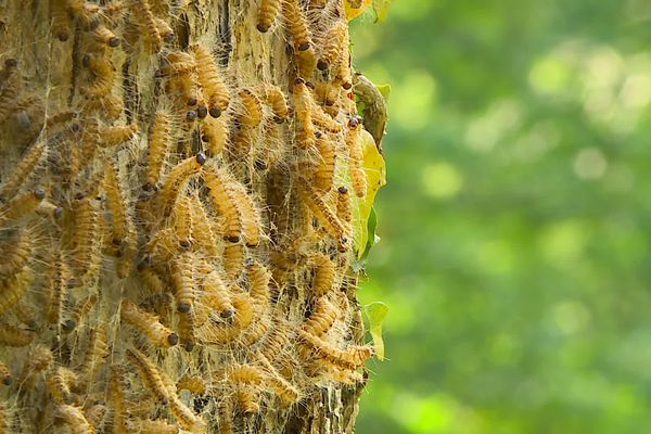 Les chenilles processionnaires du chêne sont extrêmement urticantes.