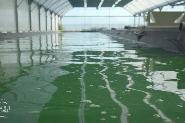 Première ferme de spiruline dans le Pays de Retz