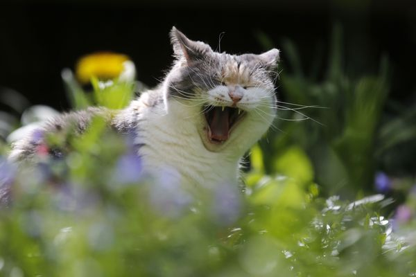 Félix le chat qui adore ronronner au soleil et déteste la pluie sera-t-il de sortie ? En Auvergne-Rhône-Alpes, la météo de cette semaine du 8 mai sera instable.