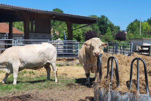 Les bêtes ont dû être rentrées suite à l'inondation des pâtures.