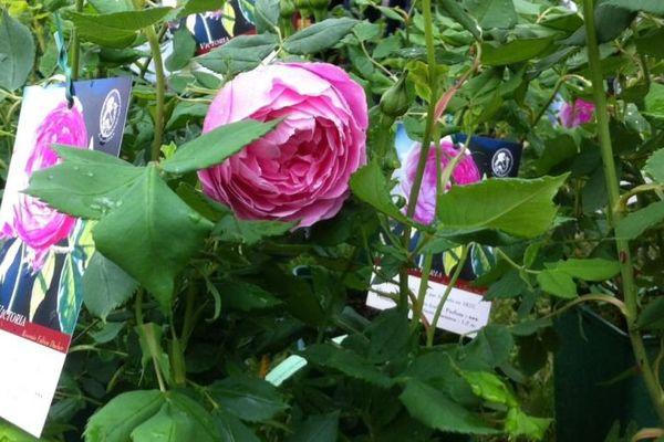 Une  rose M Moran