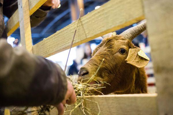 Connaissez-vous la petite histoire du fromage de chèvre de Valençay dans l'Indre ?