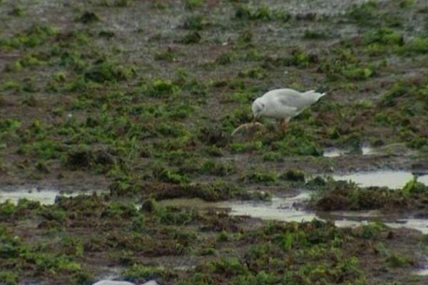 Les algues vertes sur une plage de la Flotte-en-Ré.