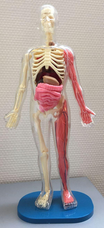 Un squelette entièrement démontable est disponible dans le coffret d'Explore le corps humain