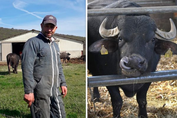 Michaël Christmann, novice en fromage, a dû apprendre à s'adapter à ces bufflonnes réputées têtues.