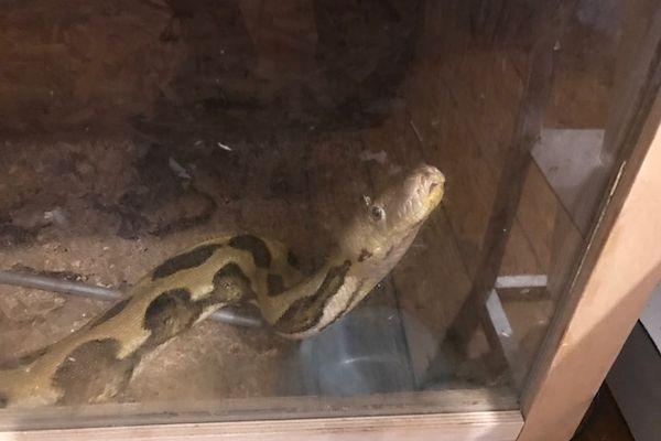 44 pythons et plusieurs iguanes ont été retrouvées par les autorités à Douarnenez et Plonéour-Lanvern dans le Finistère.