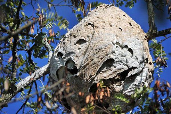 Un nid de frelons asiatiques (illustration)