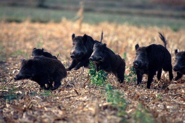Le Grand-Est est l'une des régions les plus touchées par la surpopulation des sangliers.