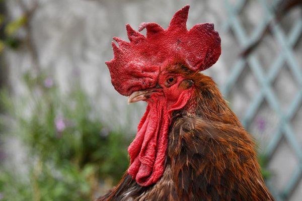 Maurice, le coq qui gagna un procès pour pouvoir continuer à chanter le matin