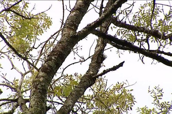 Plus de 1200 frênes malades vont être découpés pendant le mois d'avril. Morts à l'intérieur, ils menacent de tomber.