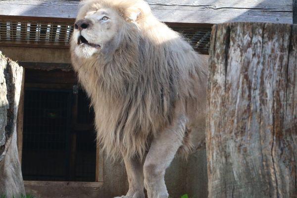 Le lion blanc recueilli par le parc zoologique de Saint-Martin la Plaine