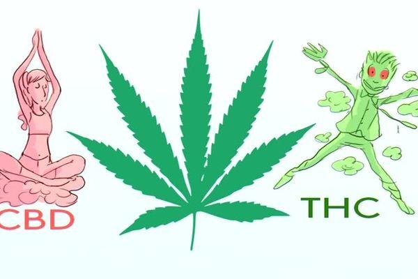 La feuille de cannabis contient deux molécules. L'une est le CBD, qui aurait des propriétés relaxantes. L'autre est le THC, elle a des propriétés psychotropes.