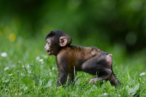 A leur naissance, les bébés Magot ont un pelage noir qu'ils gardent pendant deux mois