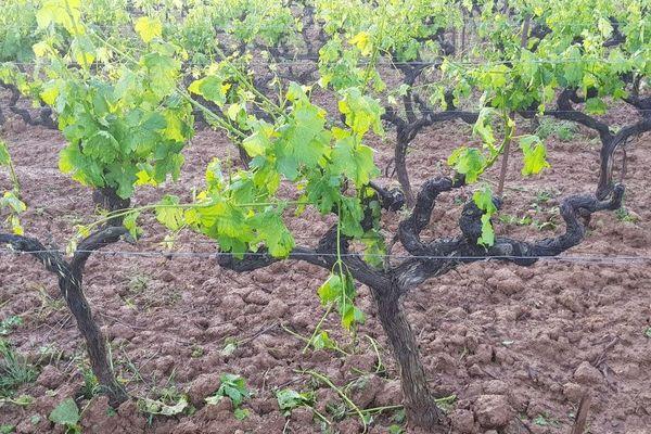 La vigne endommagée par la grêle sur une parcelle de Fabien Mistre à Correns dans le Var.