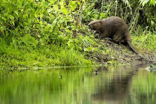 Difficile de quantifier la population de castors, mais on l'estime à 400 individus en Alsace en 2014
