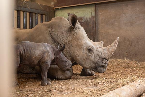 16 juin 2021, Lewa avec sa maman Duma. C'est la première femelle à naître au Safari de Peaugres. La cinquième naissance au sein du parc animalier d'Ardèche, engagé dans la sauvegarde de cette espèce menacée d'extinction.