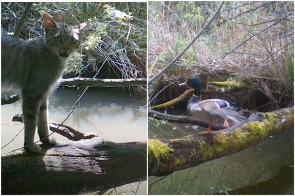 Sur le tronc, à deux moments de l'année, un chat redevenu sauvage, et un fier canard colvert.