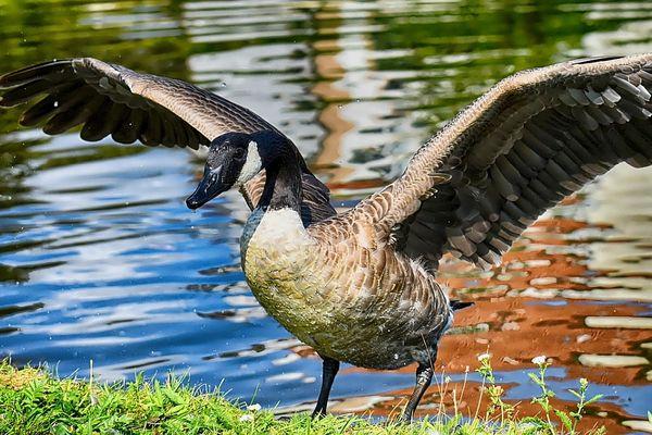 Le navigateur et explorateur Jacques Cartier, parlait déjà de ces oiseaux dans ses écrits.