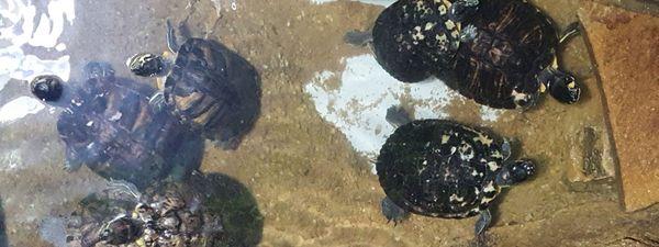 Tortues de Floride à l'aquarium du Limousin