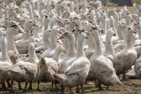 Le ministre de l'Agriculture et de l'Alimentation, Julien Denormandie, a présenté le 8 juillet les nouvelles mesures, applicables pour certaines dès cet été, visant à enrayer la reprise de la grippe aviaire, dans les exploitations du Sud-Ouest.