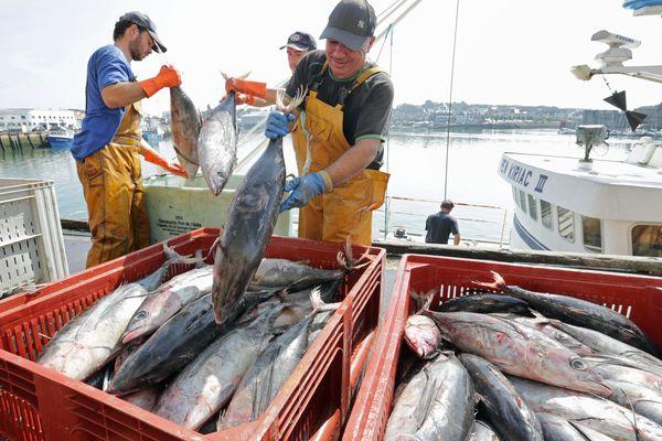 CONCARNEAU (29) : débarquement à la criée de thon blanc pêché en mer d'Irlande - 19/09/2014