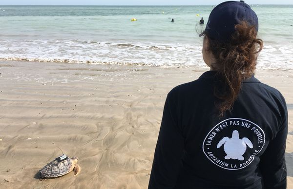 Premiers coups de nageoire sous le regard des chercheurs du centre de soins pour les tortues marines de La Rochelle.