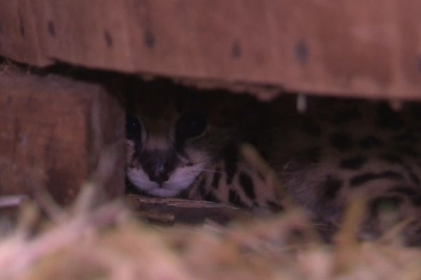 Un des servals né le 24 juillet