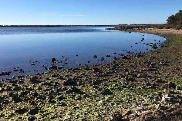 Les pinnatoxines sont retrouvées en grande quantité dans l'étang d'Ingril.