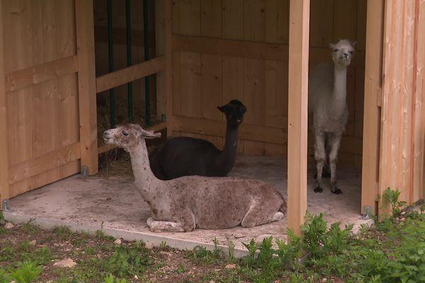 Les trois lamas sont arrivés le mercredi 12 mai au château de Montfaucon