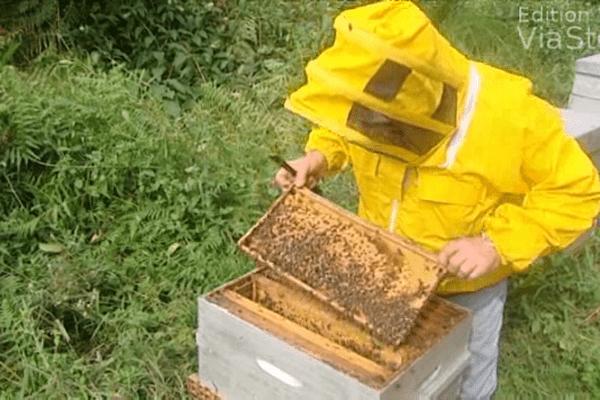 Selon les premières prévisions, la récolte de miel devrait être de 30% inférieure à celle de l'année 2013 en Haute-Corse