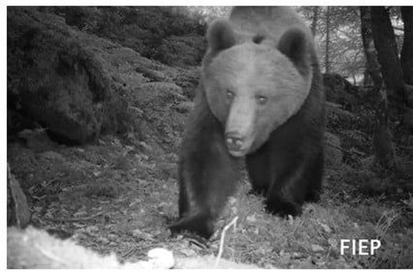 De nouvelles vidéos d'ours filmées en juillet 2020 dans les Pyrénées-Atlantiques