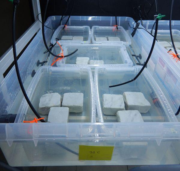 Dans le laboratoire, les petite algues poussent sur des plaques de marbre blanc.