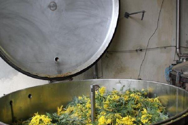 Un extracteur de l'entreprise Payan Bertrand chargé de mimosa pays.