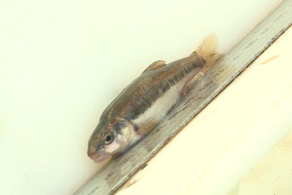 Chaque poisson est référencé, pesé et mesuré, comme ce goujon