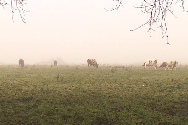 Une partie des vaches dans la pâture de la ferme de Wambrechies.