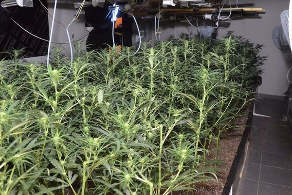 Les plants de cannabis découverts à Roubaix par la police judiciaire de Lille.