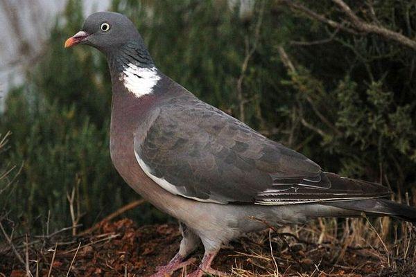 Un pigeon ramier, ça aime les petits pois !