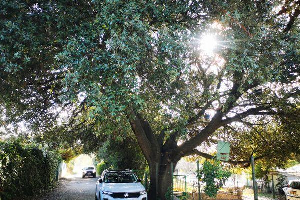 Les propriétaires jugent l'élagage de l'arbre illégal et contraire au rapport de l'office national des forêts