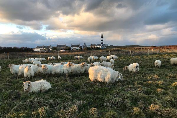 Le troupeau d'une cinquantaine de Manech à tête rousse s'est bien acclimaté