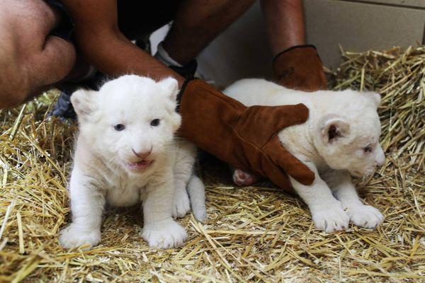 Les deux lionceaux sont nés le 23 mai