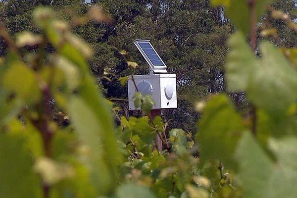 Aigues-Mortes (Gard) - la vigne soignée par la musique - mai 2018.