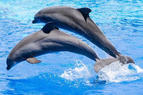 Deux dauphins en captivité