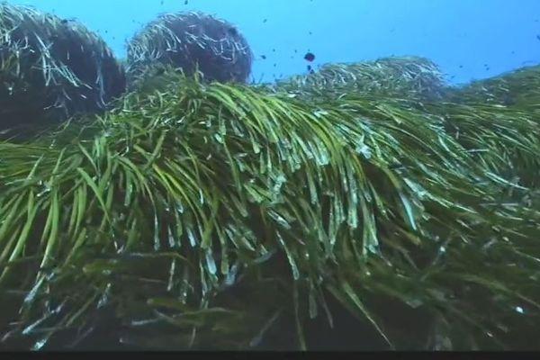Les herbiers de posidonie qui tapissent les fonds marins de Méditerranée