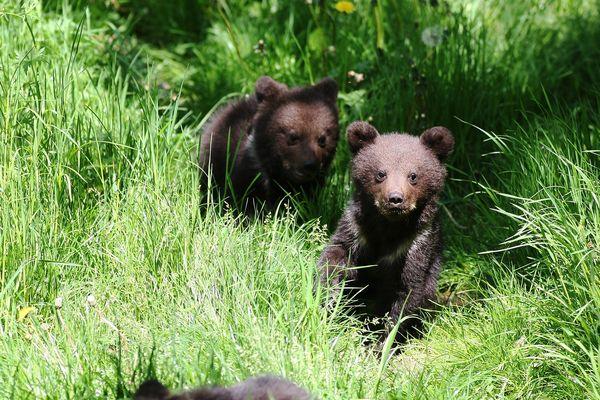 Les 3 oursons de la femelle Sorita sont les premiers nés en vallée d'Aspe depuis ceux de Ségolène il y a 13 ans dans le Parc animalier de Borce. (photo d'illustration)