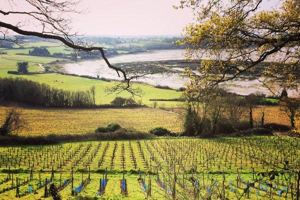 Le vignoble de Saint-Suliac (35)