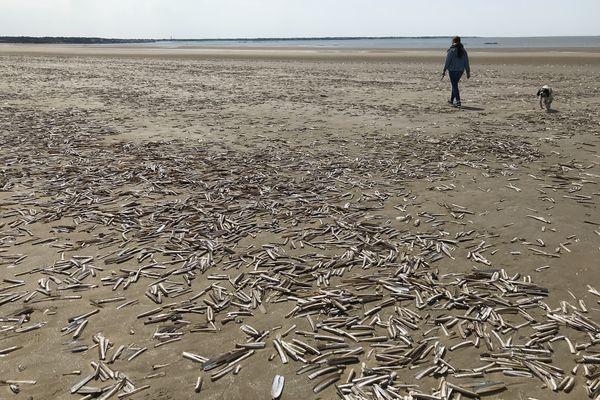 Des couteaux, coquillages bivalves, ou solen, ont recouvert la plage de Saint-Brévin-les-Pins en Loire-Atlantique