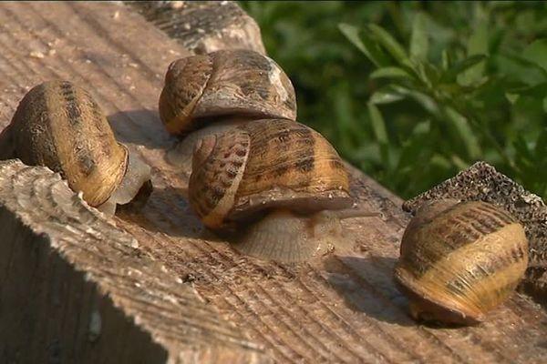 Des escargots bio ... par milliers