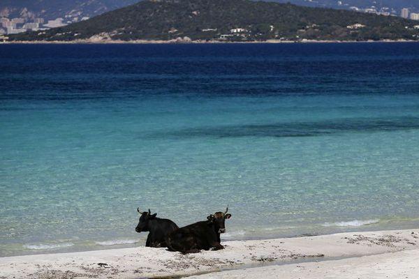 Deux vaches se reposent sur la plage déserte de Mar e sol à Porticcio, en Corse-du-Sud. Les mesures de confinement liées à l'épidémie de Covid-19 interdisent l'accès au littoral pour les promeneur.