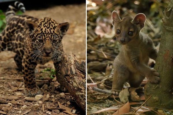 Des bébés jaguars et fossas nés au zoo de Vincennes en juillet et juin 2018.