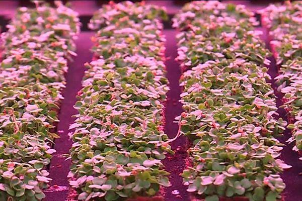 Des pousses de Mizuna, une petite salade japonaise, dans le cocon de la ferme verticale